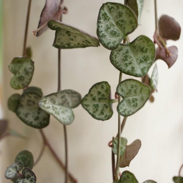ceropegia woodii arr e succulentes. Black Bedroom Furniture Sets. Home Design Ideas