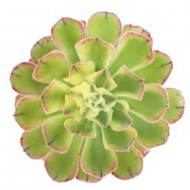 Aeonium arboreum  var. Albovariegatum