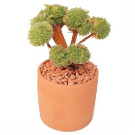 Aeonium tabuliforme form. cristata
