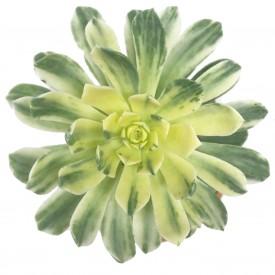 Aeonium 'Suncup'