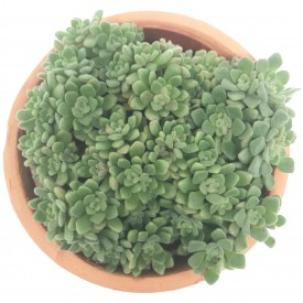 Aeonium  tortuosum