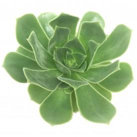 Aeonium arboreum 'Holochrysum'