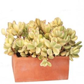 Cotyledon ladysmithiensis variegata