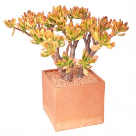 Crassula ovata 'Red Horn Tree'