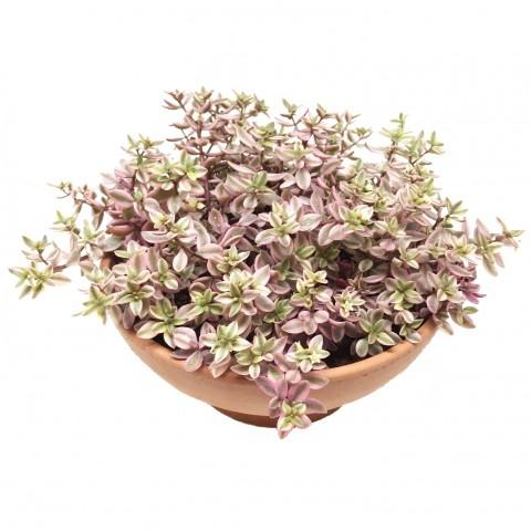 Crassula volkensii form. variegata