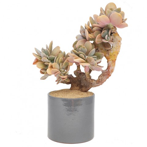 Graptoveria 'Fred Ives' form. cristata