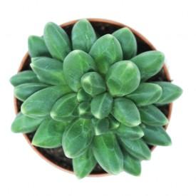 Pachyphytum 'Chiseled Stone' form. cristata