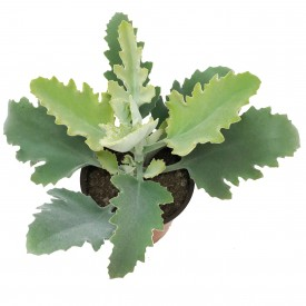 Kalanchoe beharensis 'Oak Leaf'