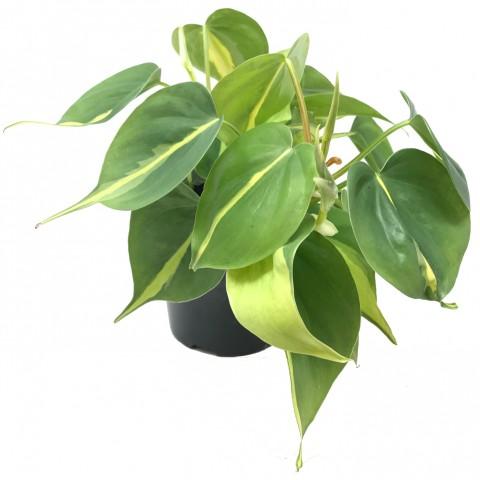 Philodendron scandens 'Brasil'