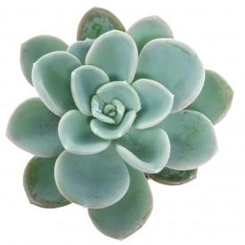 Pachyveria 'Orpet'