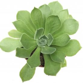 Aeonium 'Green Ballerina'