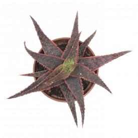 Aloe 'DZ'