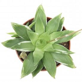 Haworthia cymbiformis 'Variegata'