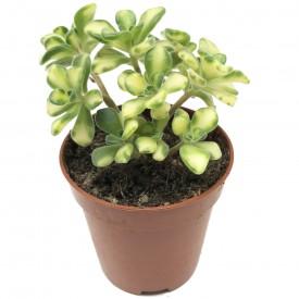 Aeonium Lindley 'Variegata'