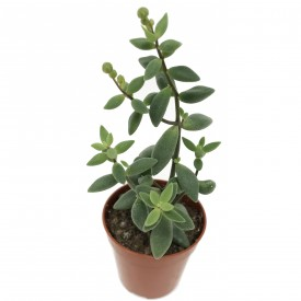 Monanthes laxiflora