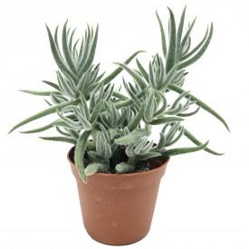 Crassula mesembryanthemoides ssp. hispida