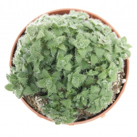 Crassula setulosa