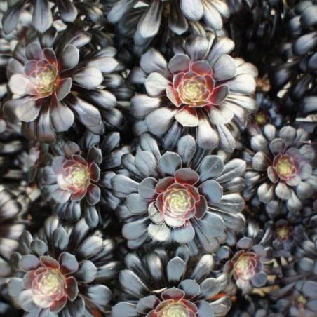 Aeonium arboreum 'Schwartzkopf'