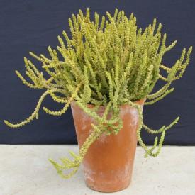 Crassula muscosa var. obtusifolia