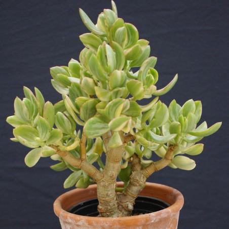 Crassula ovata 'Tricolor'