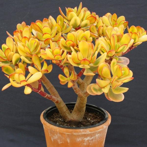 1 x bouture CRASSULA OVATA plant succulent varietaga caudex arbre de Jade