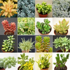 Collection de Sedum - Pot de 5,5 cm