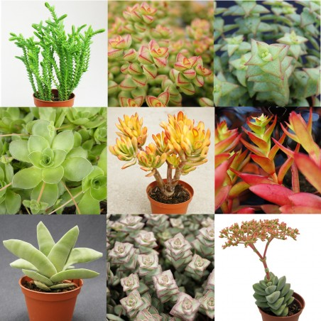Collection de Crassula - Pot de 5,5 cm