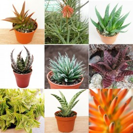 Collection d'Aloe