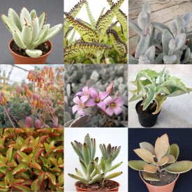 Collection de Kalanchoe