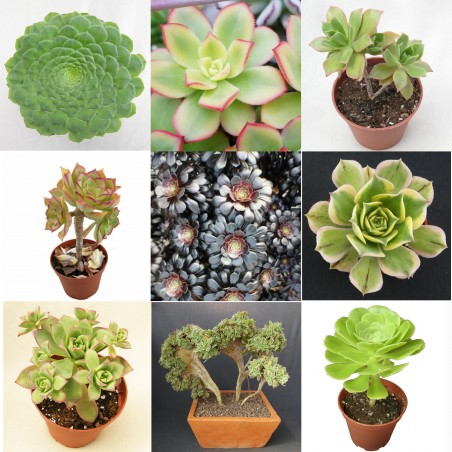 Collection d'Aeonium - Pot de 5,5cm
