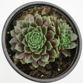 Sempervivum 'Tambora'