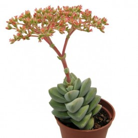 Crassula 'Moon Glow'