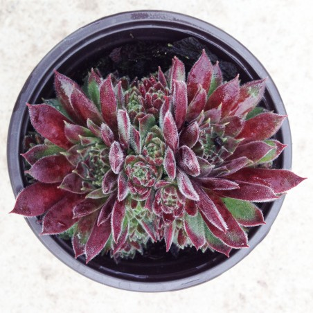 Sempervivum Pacific Red Tide