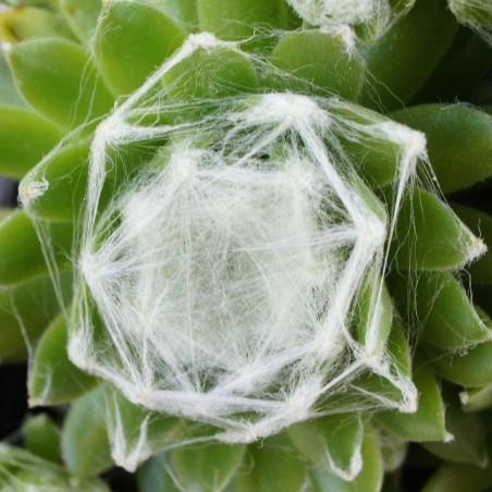 Sempervivum arachnoideum 'Zermatt'