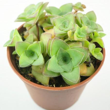 Crassula montana ssp. quandrangularis - Bouture