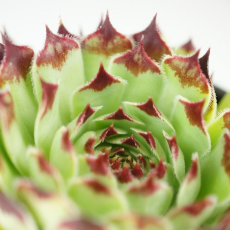 Sempervivum calcareum 'Sir Lawrence'