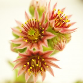 Sempervivum 'Pink Delight'