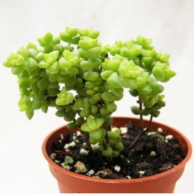 Crassula rupestris 'Minor'