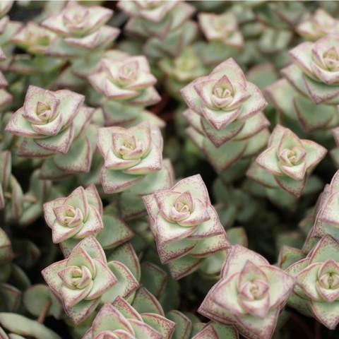 Crassula rupestris ssp.