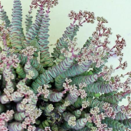 Crassula rupestris ssp. marnierana