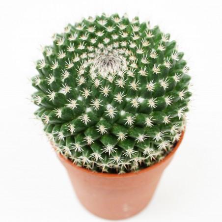 Mammillaria neomystax