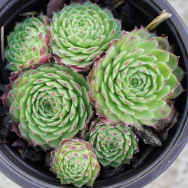 Sempervivum 'Peppermint Petty'