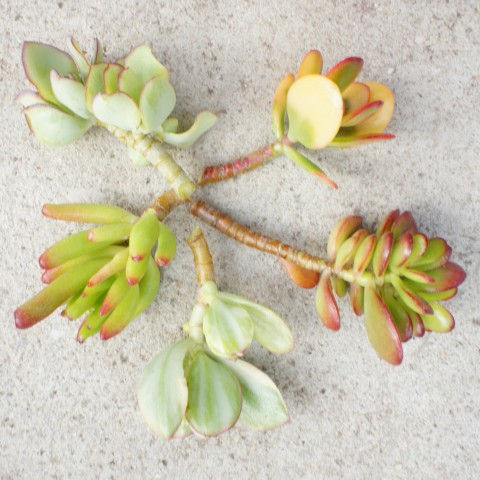 Collection boutures de Crassula arbustifs