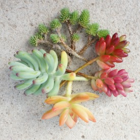 Collection boutures de Sedum