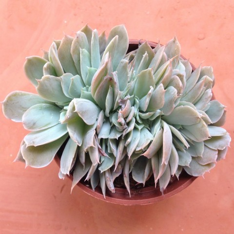 Echeveria 'Domingo' form. cristata