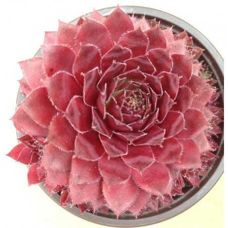 Sempervivum spinell