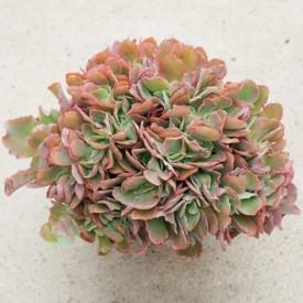 Echeveria 'Takasago No Okina' form. cristata