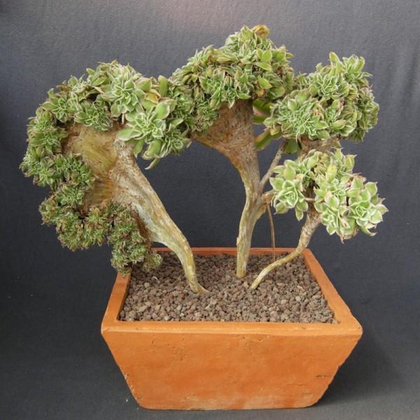 Aeonium decorum 39 sunburst 39 form cristata arr e succulentes for Decor and decorum