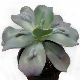 Echeveria gibbiflora var. Carunculata