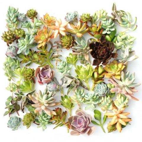 Boutures succulentes variées***